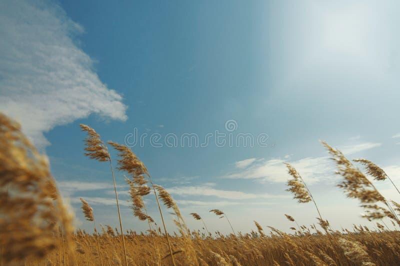 Feld mit den Goldohren des Weizens unter blauem Himmel mit Wolken Sommerhintergrund von reifenden Ohren der Landschaft lizenzfreies stockfoto