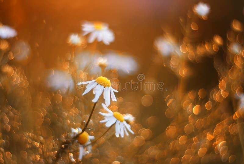 Feld mit den schönen Gänseblümchenblumen umgeben durch glänzendes Golde lizenzfreie stockfotografie