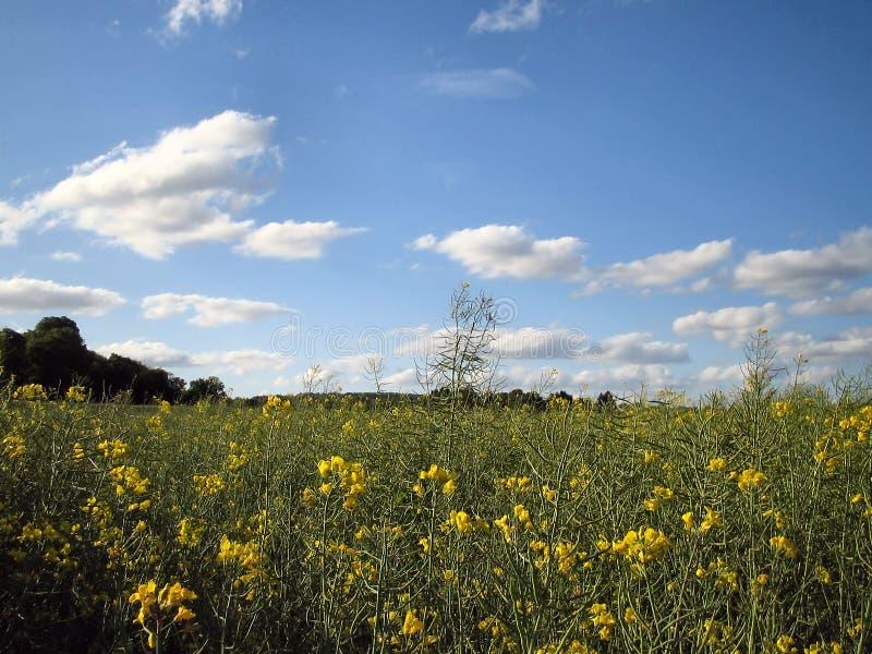 Feld mit gelben Blumen. stockfotos