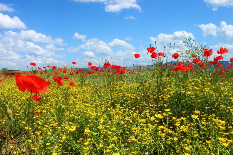 Feld mit grünem Gras, gelben Blumen und roten Mohnblumen stockfotos