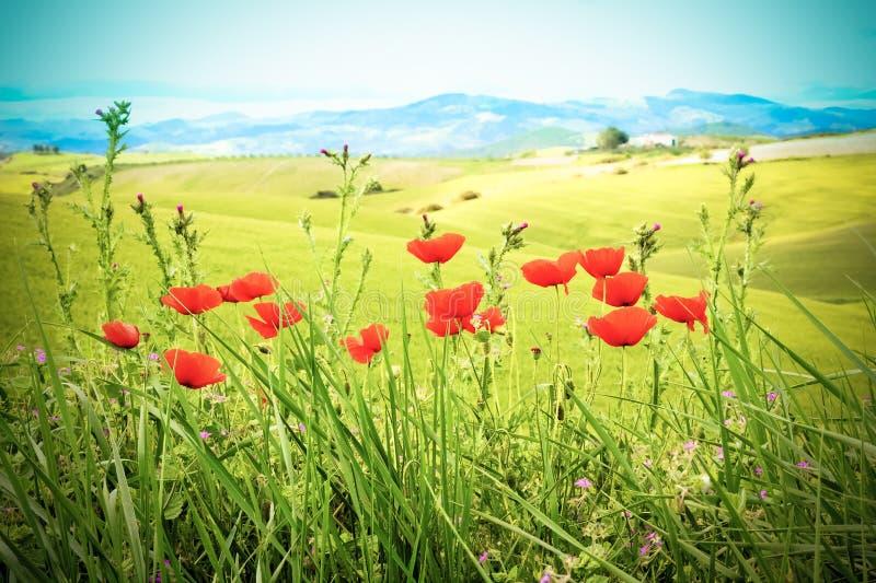 Feld mit grünem Gras und roten Mohnblumen gegen den Himmel, Weinleseart stockfoto
