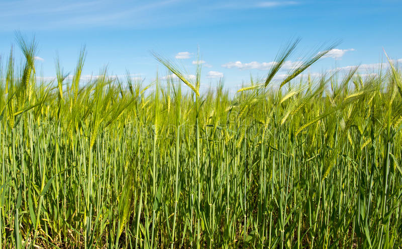 Feld mit grünem Weizen gegen den blauen Himmel lizenzfreies stockfoto