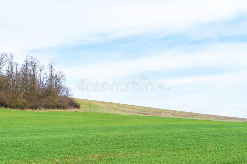 Feld mit jungen Ernten lizenzfreie stockfotos