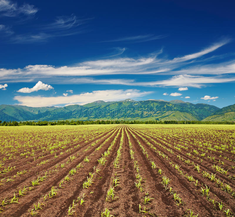 Feld mit Keimunggetreide stockbild