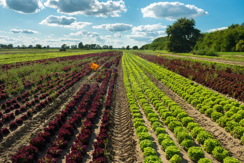 Feld mit Kopfsalat lizenzfreie stockfotografie