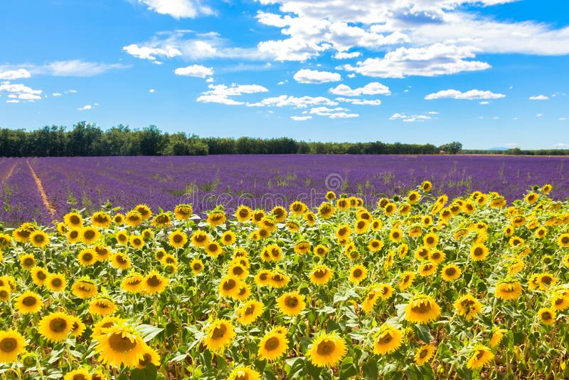 Feld mit Lavendel und Sonnenblumen Glückliche Familie für Ihr, stockfoto