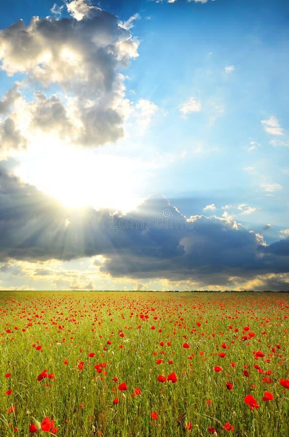 Feld mit Mohnblumen lizenzfreies stockfoto