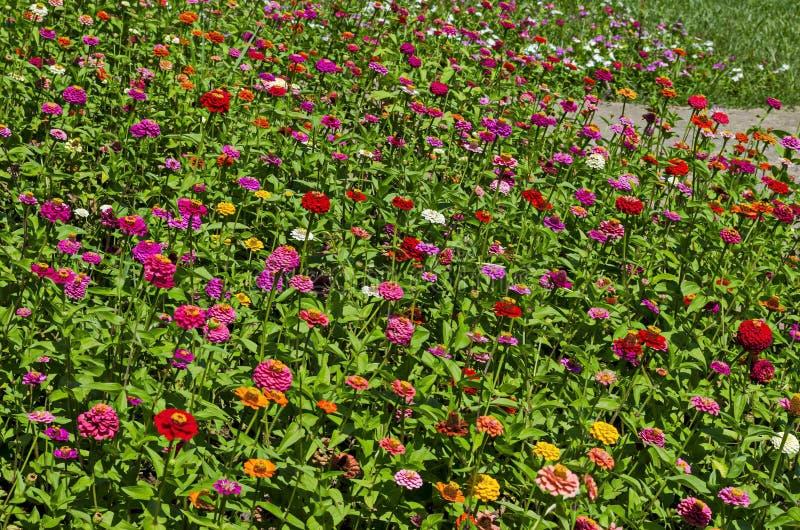 Feld mit multi farbigen Blütenblumen von Zinnia Blume im Nordpark lizenzfreies stockfoto