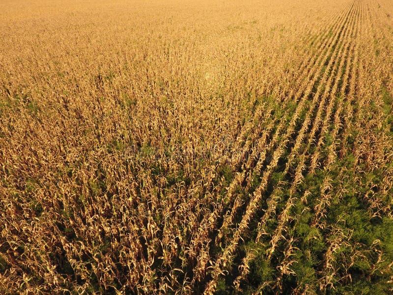 Feld mit reifem Mais Trockene Stiele von Mais Ansicht des Getreidefelds von oben Maisplantage, reife Pfeiler, bereiten vor, um zu lizenzfreie stockbilder