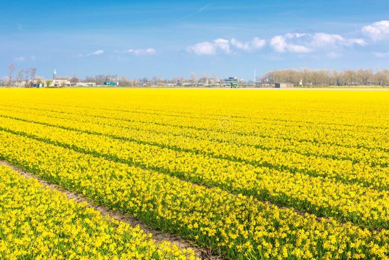 Feld mit Reihen der gelben Narzisse blüht im Frühjahr blühen, Haus, blauer Himmel lizenzfreies stockbild