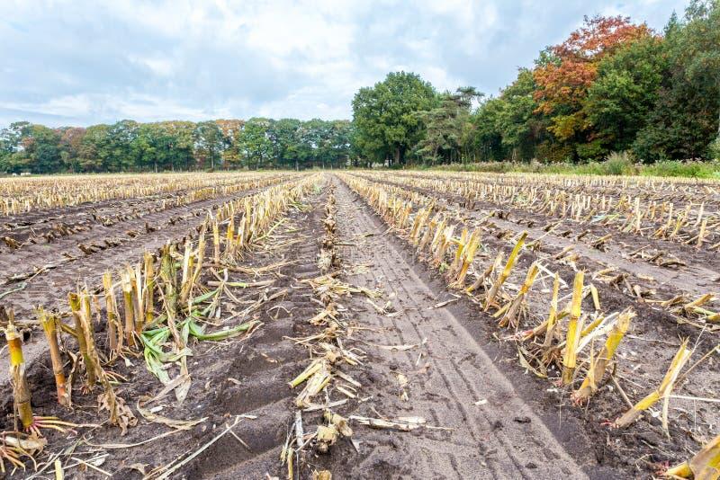 Feld mit Reihen von Maisstoppeln im Herbst lizenzfreie stockfotografie
