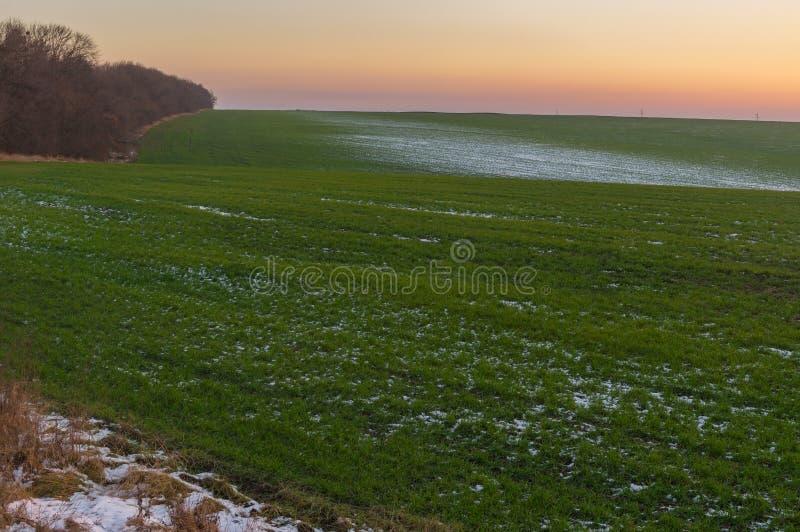 Feld mit Reihen von Winterfrüchten zur Sonnenuntergangzeit in einer herbstlichen Jahreszeit in Ukraine lizenzfreies stockfoto
