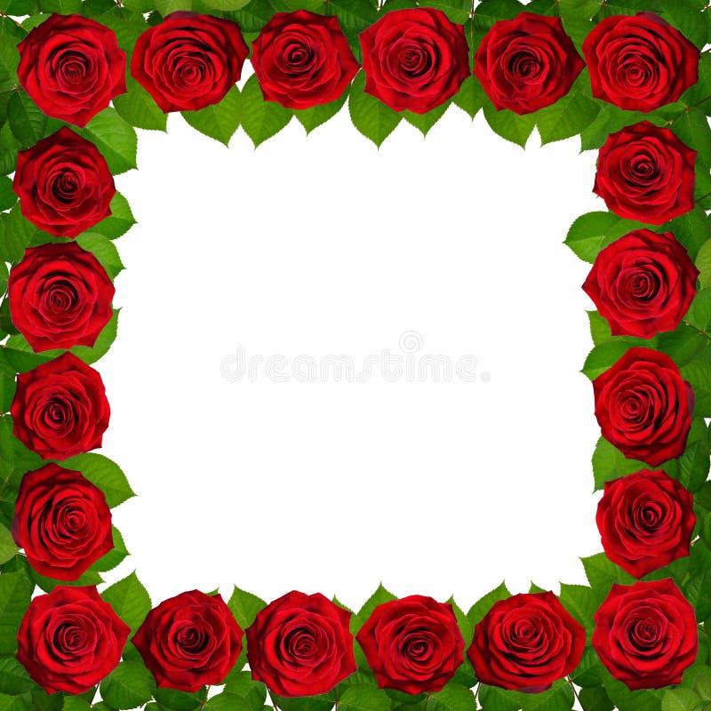 Feld mit roten Rosen Getrennt auf weißem Hintergrund stockfoto