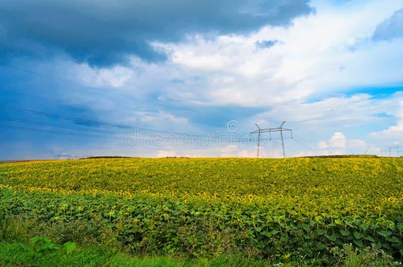 Feld mit Sonnenblumen mit den blauen und grauen Wolken stockfotos