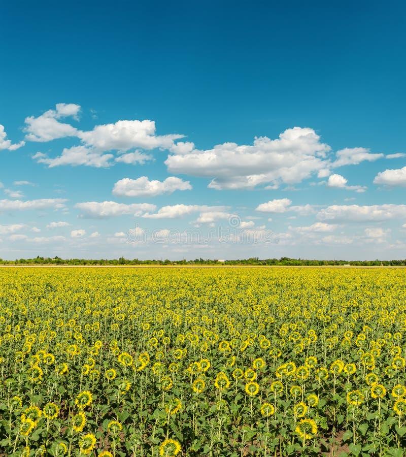 Feld mit Sonnenblumen und Himmel mit Wolken lizenzfreies stockbild