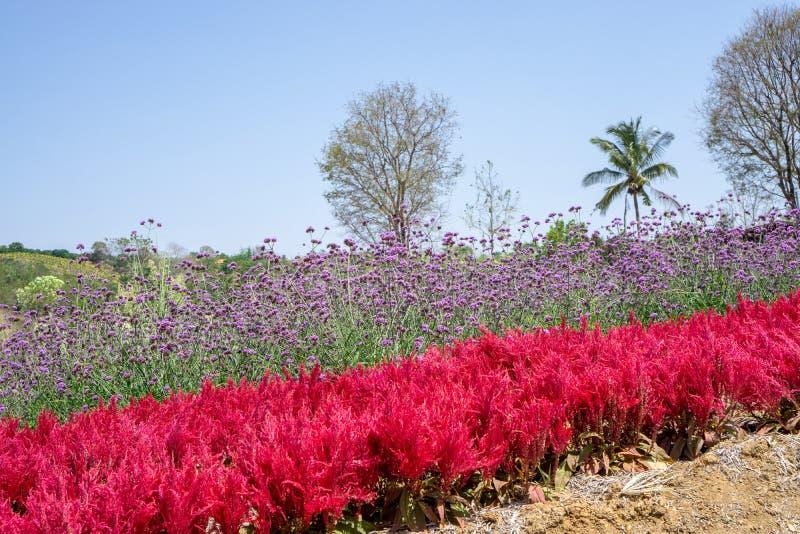 Feld roter Plumed Blume Celusia oder der Wolle und der Bl?te purpurroter Blume Vervian oder der Verbene auf gr?nen Bl?ttern unter stockbild
