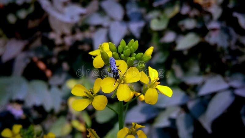 Feld-Senf, Vergewaltigungs-Senf-Gelb-Blume stockfotografie