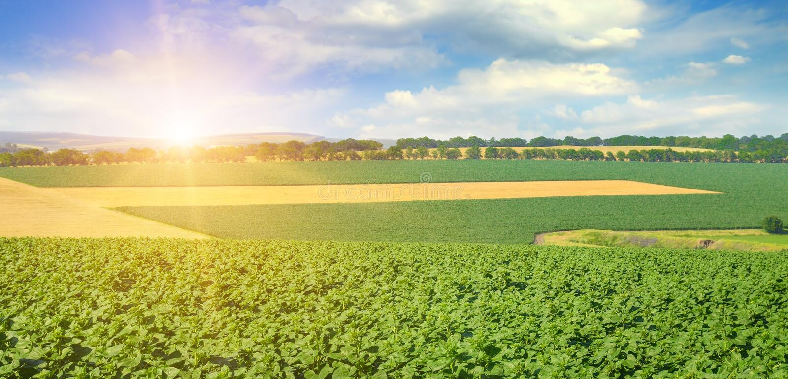 Feld sunflower sprout and sunrise on sky. Agricultural landscape. Wide photo. Feld sunflower sprouts and sunrise on sky. Agricultural landscape. Wide photo stock photo