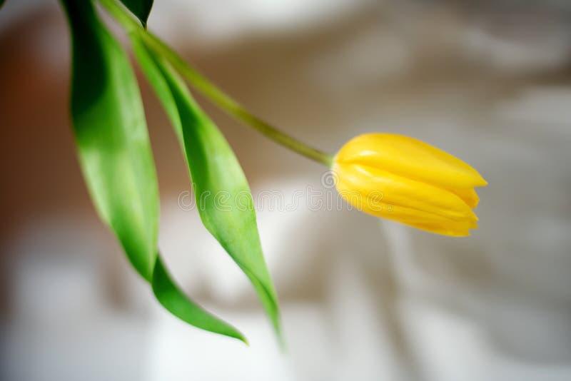 Feld Tulpen-Blumennahaufnahme der Schatten in der einzelnen im hellen Sonnenlicht Verwelkende Fr?hlingsblume Licht und Schattenko lizenzfreie stockfotografie