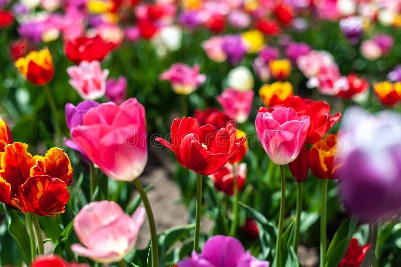 Feld vieler farbigen Tulpen auf undeutlichem Hintergrund lizenzfreies stockfoto