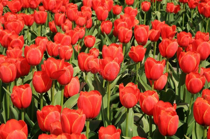 Feld voll der roten Tulpen. stockbilder