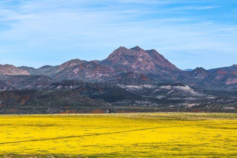 Feld voll von gelben Wildflowers in der Arizona-Wüste stockfotos