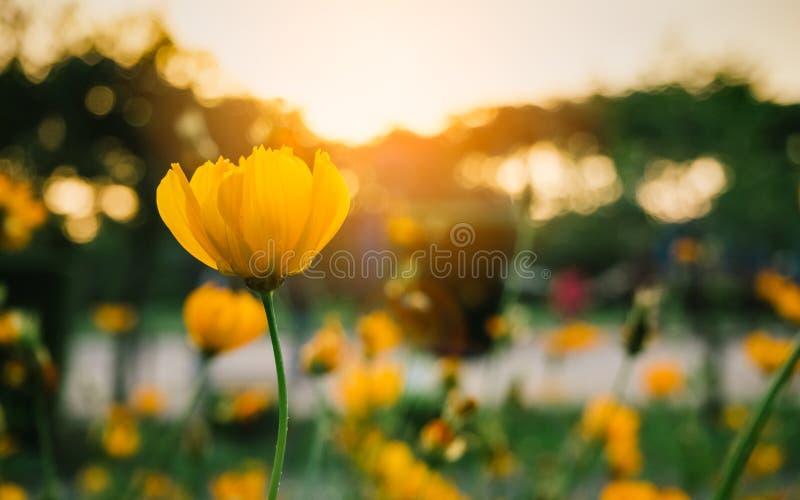 Feld von blühenden gelben Blumen auf einem Hintergrundsonnenuntergang stockfotografie