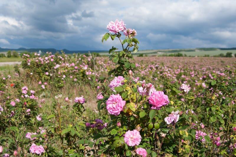 Feld von blühenden rosa Krimdamaskusrosen, Rosenbuschnahaufnahme lizenzfreie stockbilder