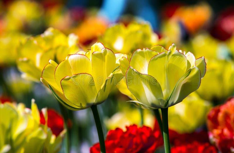 Feld von Blütentulpen in einem Park stockfoto