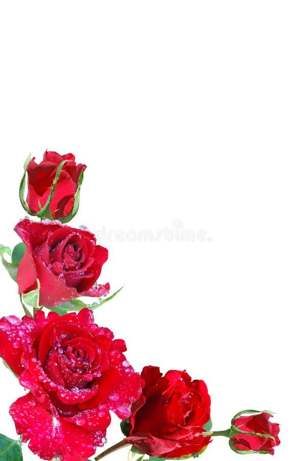 Feld von den roten Rosen lizenzfreies stockfoto