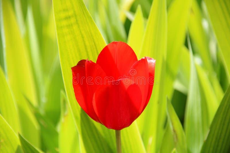 Feld von den Tulpen rot, von violetten, purpurroten Farben, von Screensaver und von Tapete Blühende bunte Tulpenblumen im Garten, lizenzfreie stockbilder