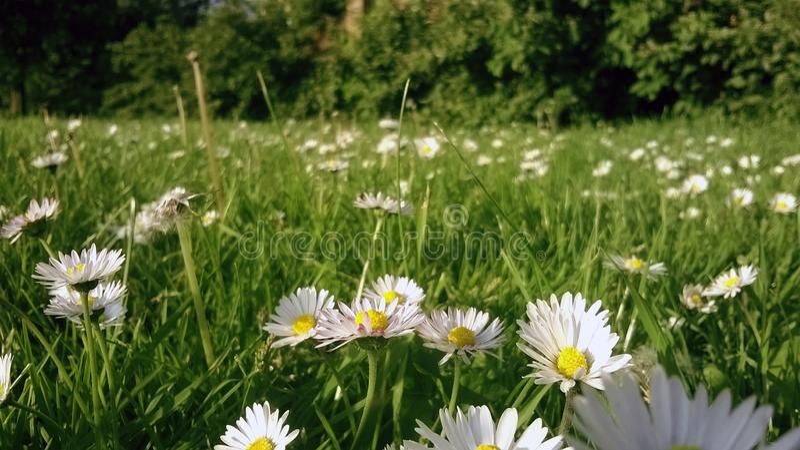 Feld von Gänseblümchen im Frühjahr stockfotos
