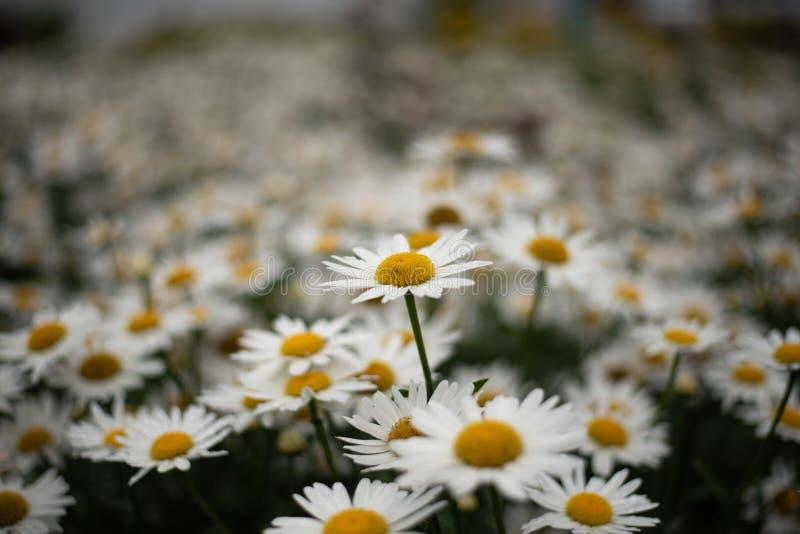 Feld von Gänseblümchen mit einer höheren Blume und einem bokeh lizenzfreie stockbilder
