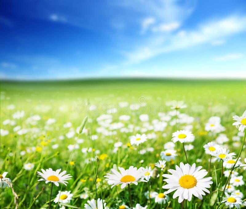 Feld von Gänseblümchenblumen stockfotos