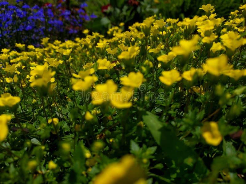Feld von gelben und purpurroten Blumen stockfotos