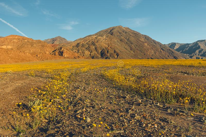 Feld von gelben Wildflowers in der Wüste, Nationalpark-Superblüte Death Valley lizenzfreies stockfoto