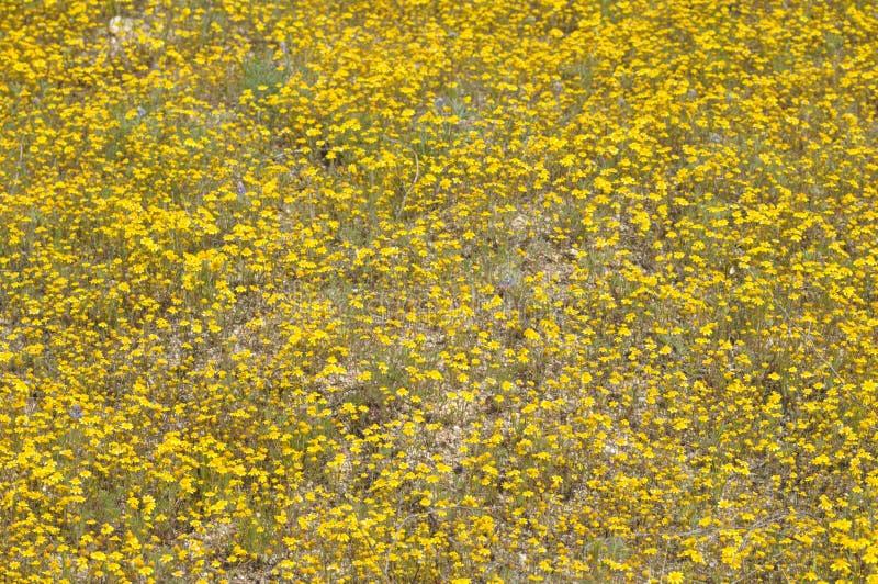 Feld von gelben Wildflowers in voller Blüte auf Wüsten-Boden lizenzfreies stockfoto