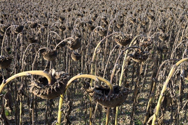 Feld von getrockneten Sonnenblumen lizenzfreie stockbilder