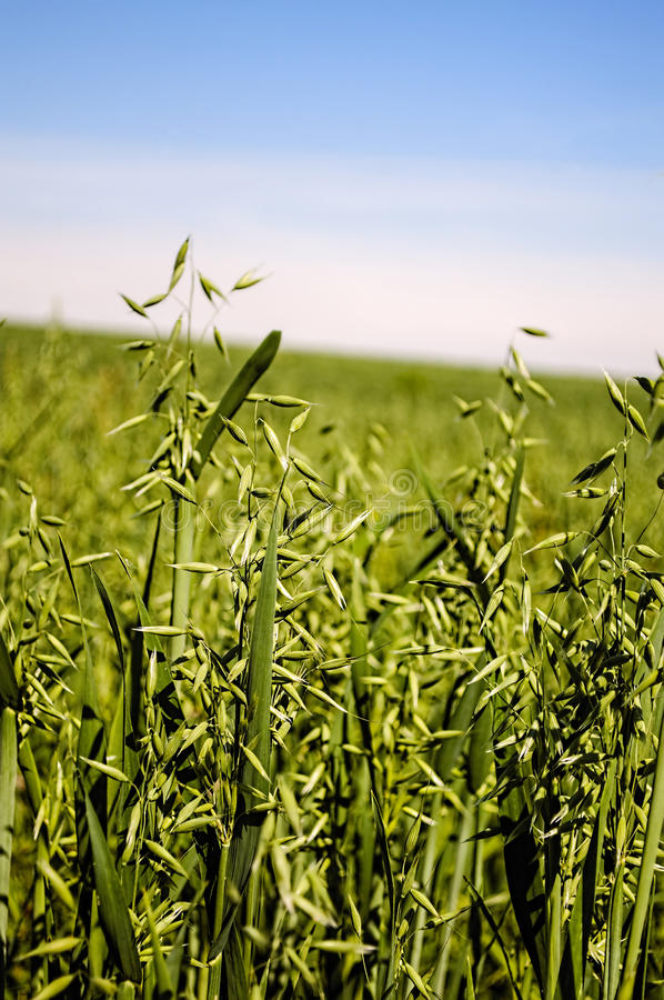Feld von grünen Hafern, stockfoto