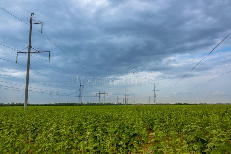 Feld von gr?nen Sonnenblumen und von Stromleitungen lizenzfreie stockfotografie