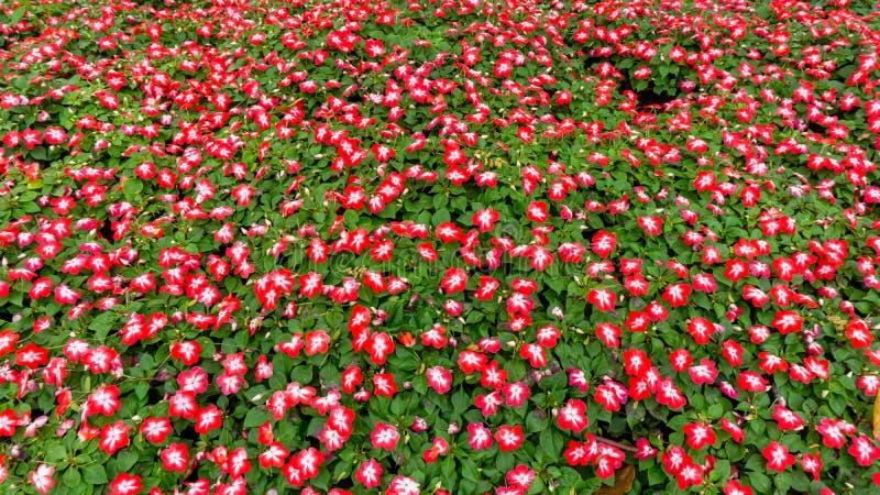 Feld von hübschen zierlichen orange Blumenblättern von Sultanine-Blumen, die auf grünen Blättern, kleine Knospe in einem Park blü lizenzfreies stockfoto