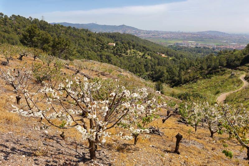 Feld von Kirschbäumen in der Blüte nahe Sant Climent, Barcelona-Provinz, Spanien stockbild