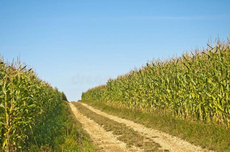 Feld von Mais stockfotos