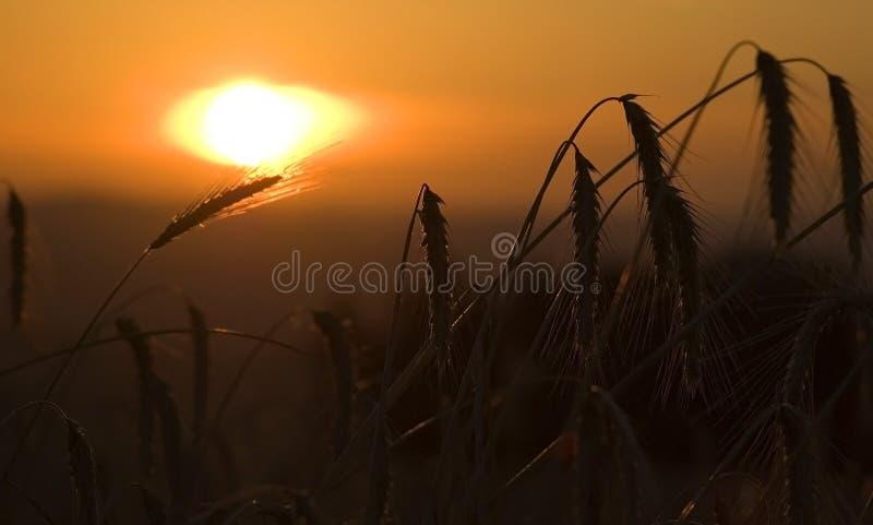 Feld von Mais im Sonnenaufgang stockbilder