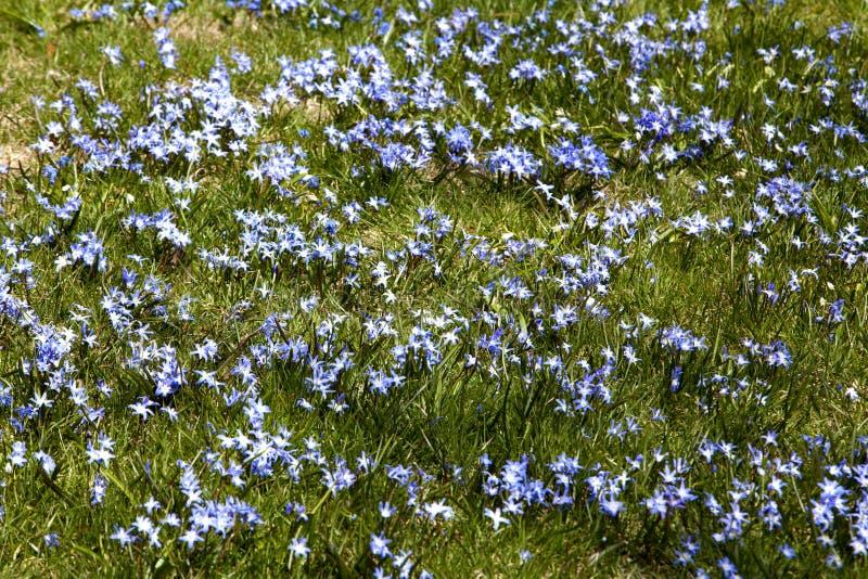 Feld von Meerzwiebel-Blumen lizenzfreies stockbild