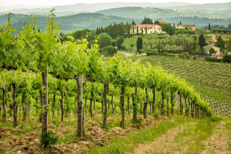 Feld von Reben in der Landschaft von Toskana stockbild