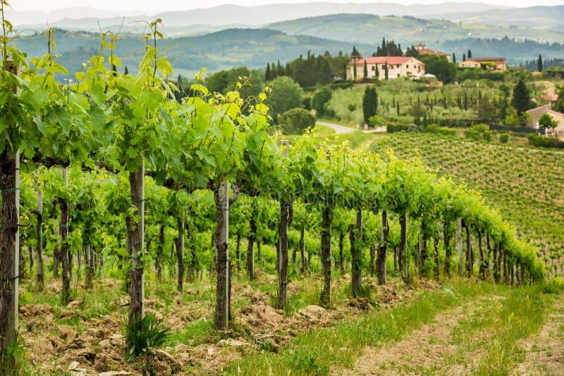 Feld von Reben in der Landschaft von Toskana lizenzfreie stockbilder