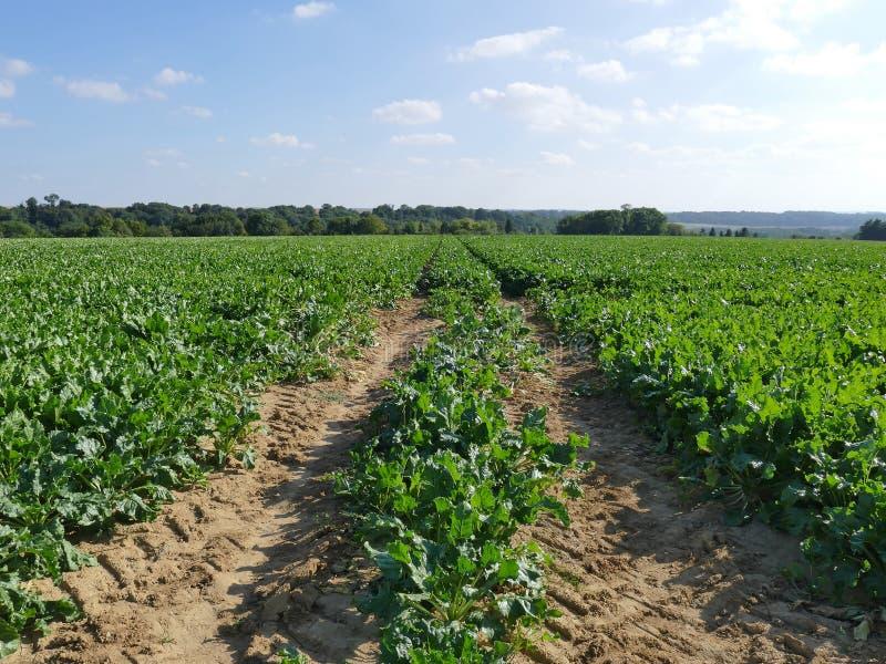 Feld von Reihen von Zuckerrübenfabriken in der Sonne lizenzfreies stockfoto