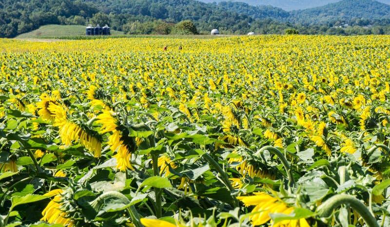 Feld von riesigen Sonnenblumen - 3 lizenzfreies stockbild