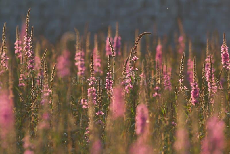 Feld von rosa Wildflowers auf grünem Gras bei Sommersonnenuntergang stockbilder